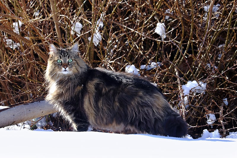 Young Norwegian forest cat